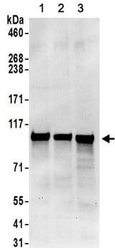 Western blot - Anti-Methionyl tRNA synthetase antibody (ab157115)
