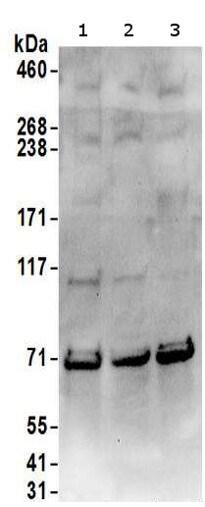 Western blot - Anti-SRP68 antibody (ab157120)