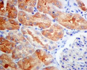 Immunohistochemistry (Formalin/PFA-fixed paraffin-embedded sections) - Anti-UPB1 antibody [EPR9132] (ab157195)