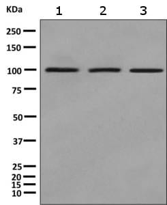 Western blot - Anti-CASS4 antibody [EPR8947(2)] (ab157198)