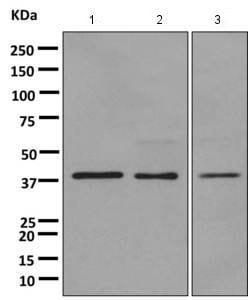 Western blot - Anti-G protein alpha Inhibitor 2 antibody [EPR9469] (ab157204)