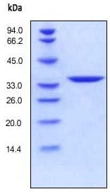 SDS-PAGE - Annexin V protein (His tag) (ab157342)