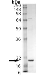 SDS-PAGE - TNF alpha protein (Active) (ab157351)