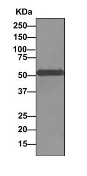 Western blot - Anti-DNA polymerase mu antibody [EPR10470(B)] (ab157465)
