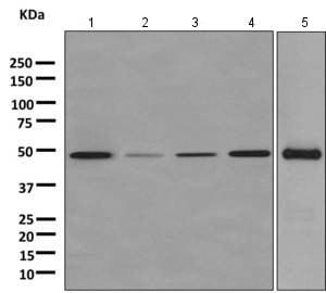 Western blot - Anti-ENO3 antibody [EPR11366(B)] (ab157474)