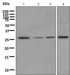 Western blot - Anti-PAFAH1B2 antibody [EPR11250] (ab157479)