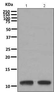 Western blot - Anti-HBXIP antibody [EPR11531(B)] (ab157480)