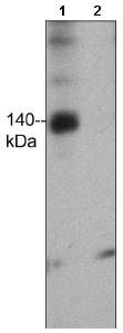 Western blot - Anti-FHOD1 (phospho T1141) antibody (ab157589)