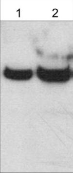Western blot - Anti-Ephexin-1 antibody - C-terminal (ab157593)