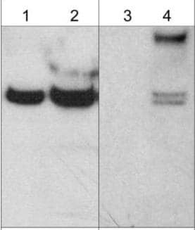 Western blot - Anti-Ephexin-1 (phospho Y87) antibody (ab157594)