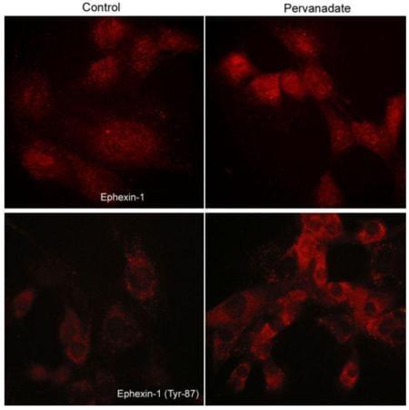 Immunocytochemistry/ Immunofluorescence - Anti-Ephexin-1 (phospho Y87) antibody (ab157594)