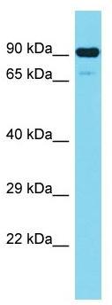 Western blot - Anti-CEP89 antibody - N-terminal (ab157609)