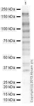 Western blot - Anti-Phosphotyrosine antibody [PY20] (HRP) (ab16389)