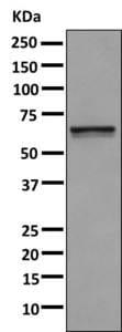 Western blot - Anti-GPCR GPR37 antibody [EPR10728] (ab166614)
