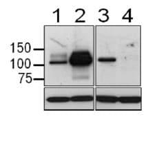 Western blot - Anti-MASTL antibody [RIPLY 74C] (ab166647)