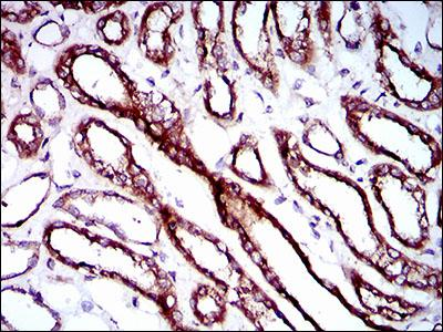 Immunohistochemistry (Formalin/PFA-fixed paraffin-embedded sections) - Anti-RPL18A antibody [6G6G10] (ab166711)