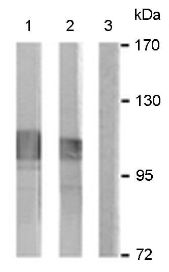 Western blot - Anti-IARS2 antibody (ab166870)