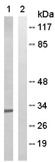 Western blot - Anti-MRPL46 antibody (ab166873)