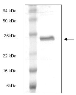 SDS-PAGE - EBI3 protein (ab166879)