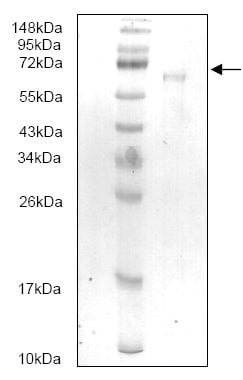 SDS-PAGE - HGF protein (His tag) (ab166881)