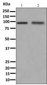 Western blot - Anti-CDHR4 antibody [EPR9098] (ab166914)