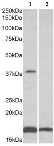 Western blot - Anti-CD57 antibody (ab166942)