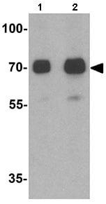 Western blot - Anti-TORC2 antibody - C-terminal (ab167129)