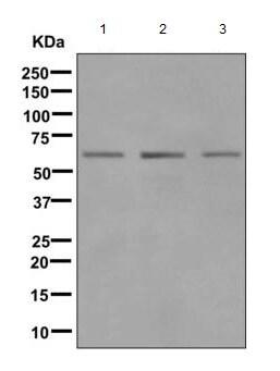 Western blot - Anti-GLYR1 antibody [EPR10077(B)] (ab167155)