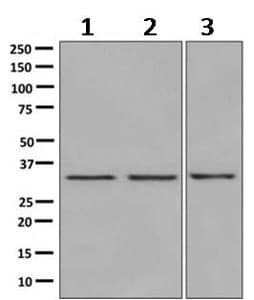 Western blot - Anti-DEGS1 antibody [EPR9681] (ab167169)