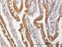 Immunohistochemistry (Formalin/PFA-fixed paraffin-embedded sections) - Anti-APOA4 antibody (ab167350)