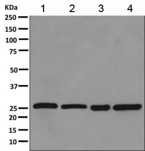 Western blot - Anti-PSMG1 antibody [EPR10223] (ab167396)