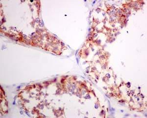 Immunohistochemistry (Formalin/PFA-fixed paraffin-embedded sections) - Anti-PSMG1 antibody [EPR10223] (ab167396)