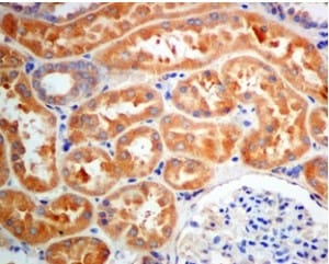 Immunohistochemistry (Formalin/PFA-fixed paraffin-embedded sections) - Anti-COG2 antibody [EPR10896] (ab167416)
