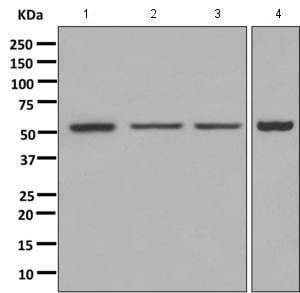 Western blot - Anti-SAMM50 antibody [EPR8717] (ab167430)