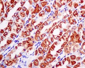 Immunohistochemistry (Formalin/PFA-fixed paraffin-embedded sections) - Anti-SAMM50 antibody [EPR8717] (ab167430)