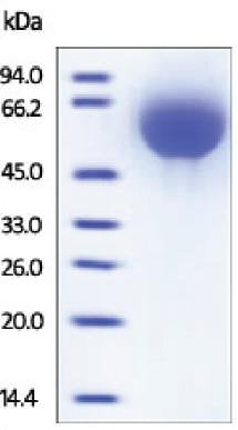 SDS-PAGE - TFPI protein (Active) (ab167711)