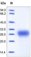SDS-PAGE - TFPI2 protein (Active) (ab167722)