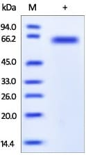 SDS-PAGE - Furin protein (Active) (ab167741)