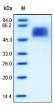SDS-PAGE - IL13 receptor alpha 1 protein (Active) (ab167745)