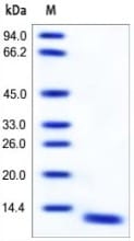 SDS-PAGE - MRP8 protein (Active) (ab167749)
