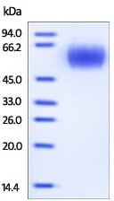SDS-PAGE - IL17A Receptor protein (Active) (ab167753)