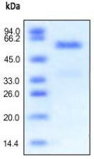 SDS-PAGE - Carboxypeptidase H protein (Active) (ab167757)