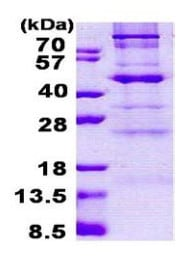 SDS-PAGE - C1GALT1 protein (His tag) (ab167826)