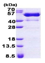 SDS-PAGE - PSTPIP1 protein (His tag) (ab167828)