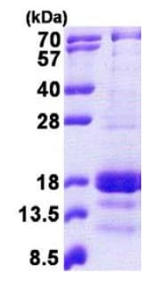 SDS-PAGE - CXCL9 protein (His tag) (ab167829)