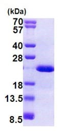 SDS-PAGE - Dhh protein (His tag) (ab167833)