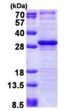 SDS-PAGE - LAYN protein (His tag) (ab167834)