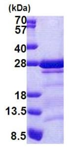SDS-PAGE - CAMLG protein (His tag) (ab167835)
