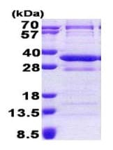 SDS-PAGE - CNOT8 protein (His tag) (ab167839)