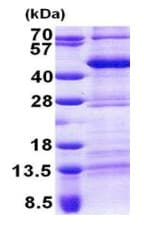 SDS-PAGE - TEF1 protein (His tag) (ab167855)